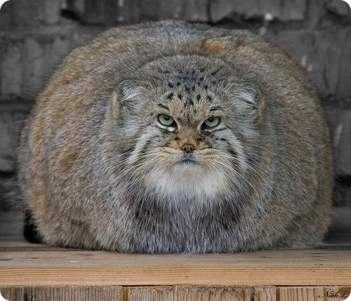 Pallas's Cat (2)