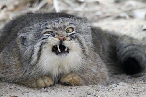 Pallas's Cat (4)