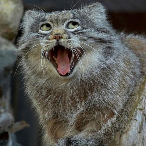 Pallas's Cat (5)