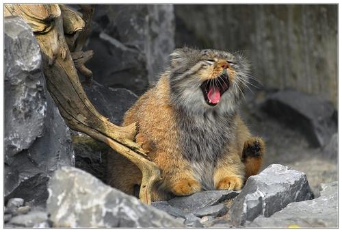 Pallas's Cat (6)