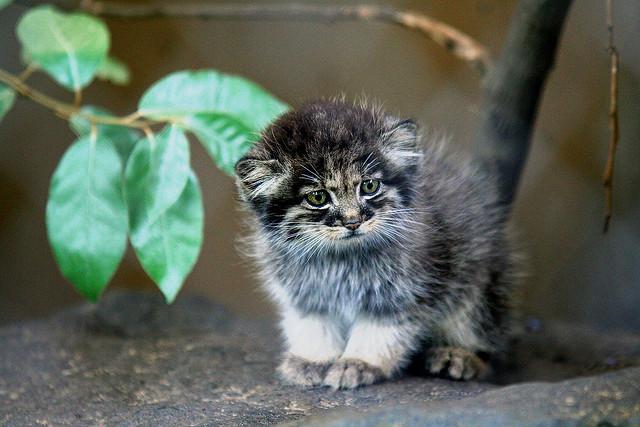 Pallas's Kitten 2