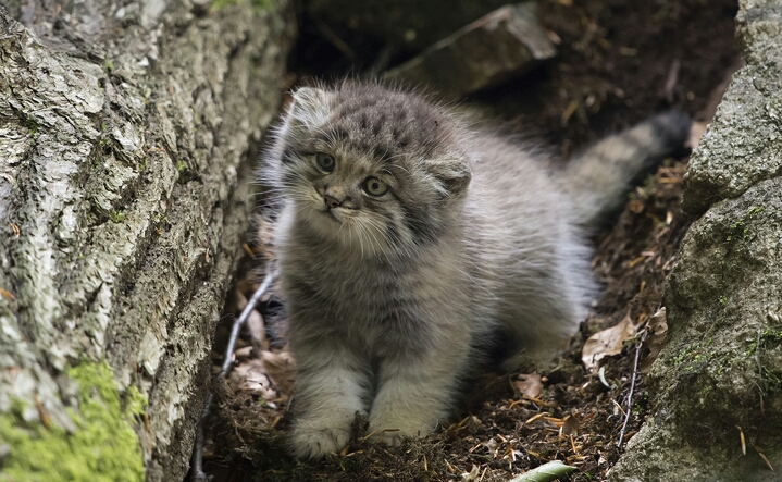 Pallas's Kitten 3