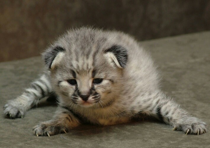 Pallas's Kitten