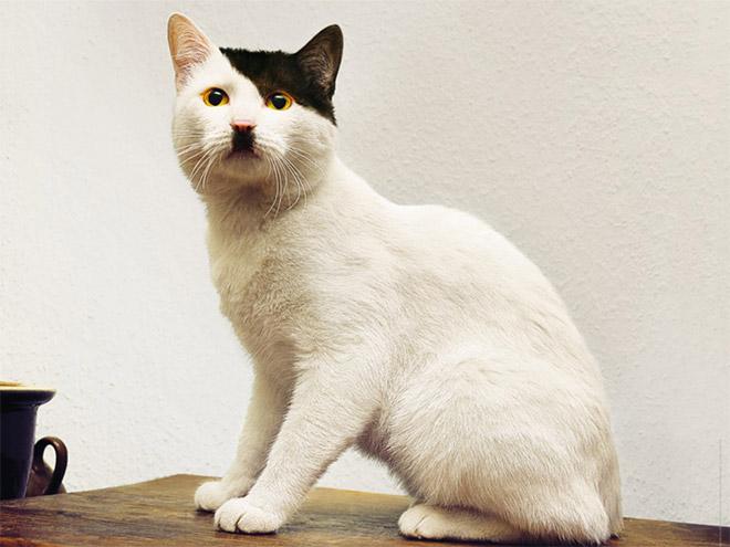 Cat That Looks Like Hitler (1)