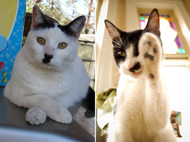 Cat That Looks Like Hitler (15)