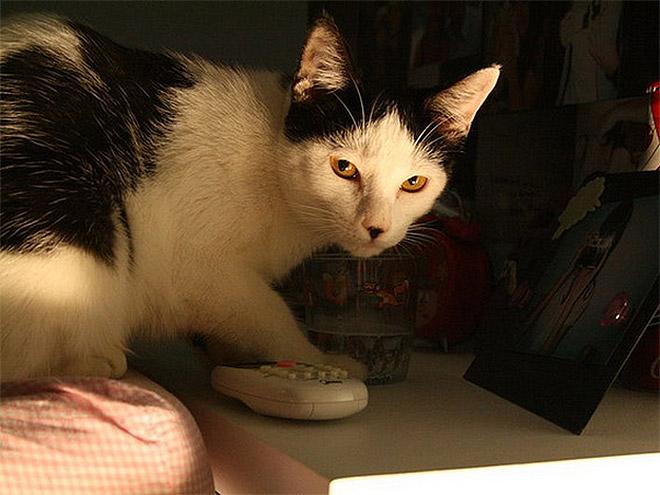 Cat That Looks Like Hitler (16)