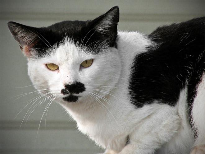 Cat That Looks Like Hitler (3)
