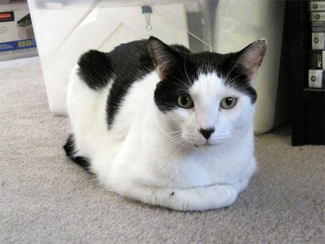 Cat That Looks Like Hitler (7)