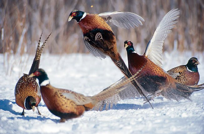Bouquet Of Pheasants