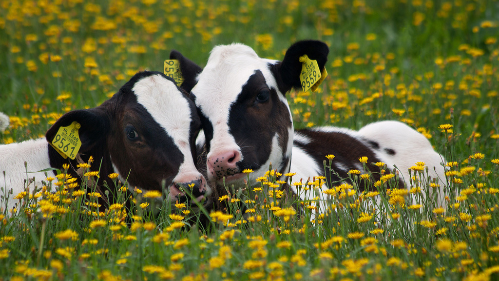 Cows Have Best Friends
