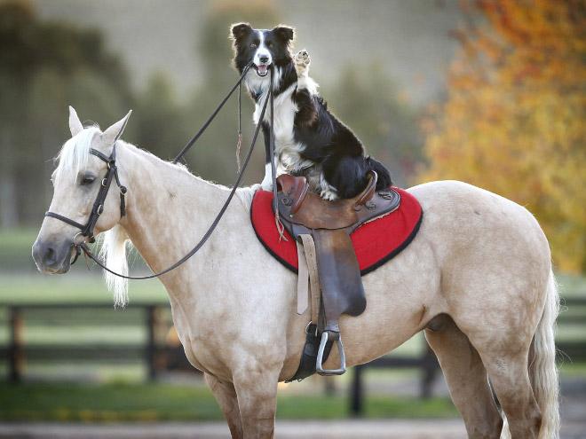 Dog Riding Horse