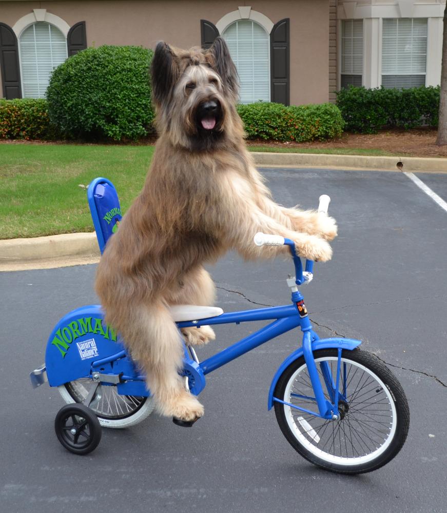 Norman The Bike Riding Dog