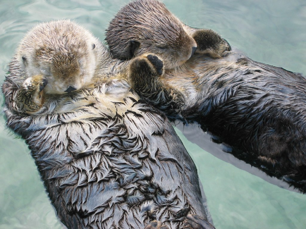 Sea Otters Hold Hands