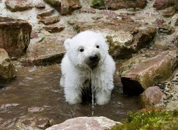 Shocked Baby Polar Bear