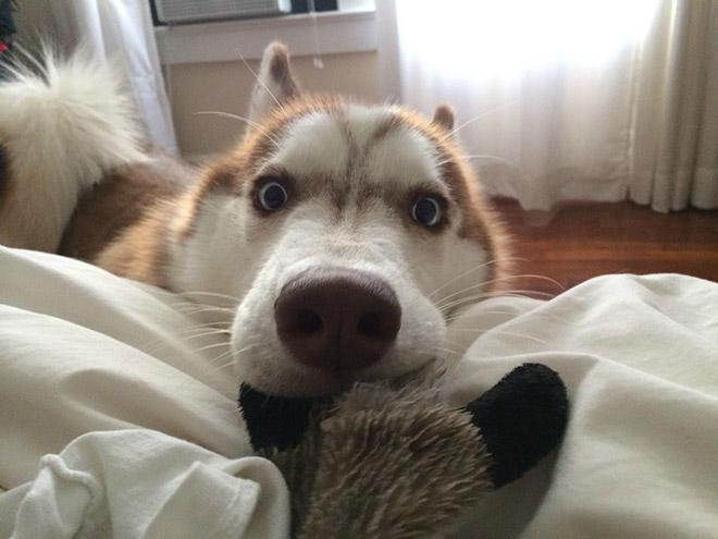 Shocked Husky