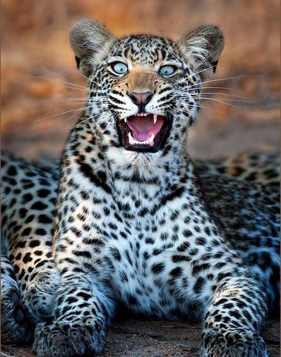 Shocked Leopard