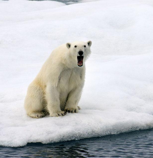 Shocked Polar Bear
