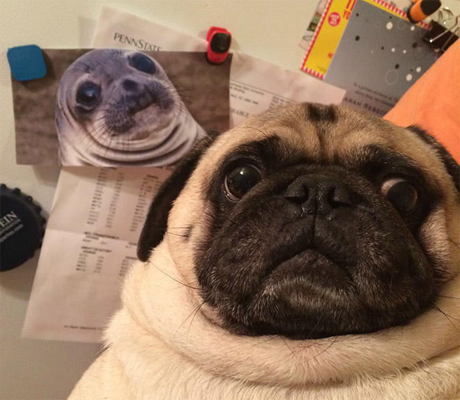 Shocked Pug