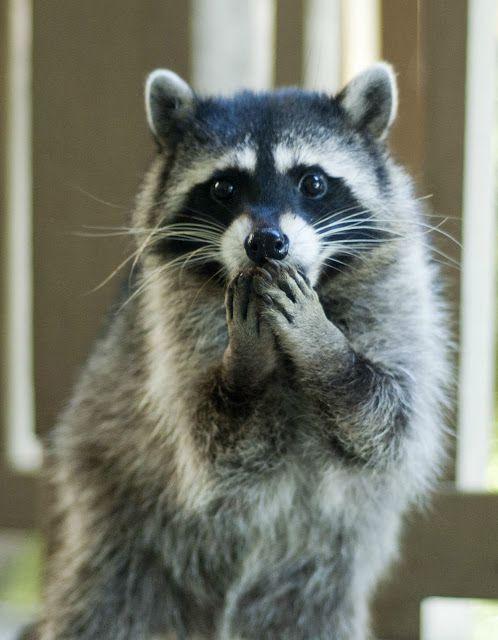 Shocked Raccoon