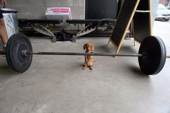 Weightlifting Dog