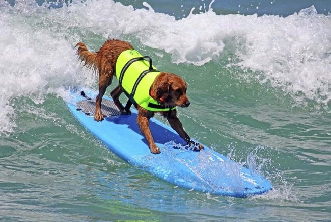 Windsurfing Dog