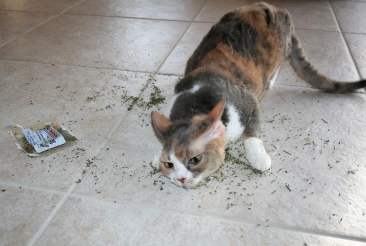 Cat On Catnip (7)