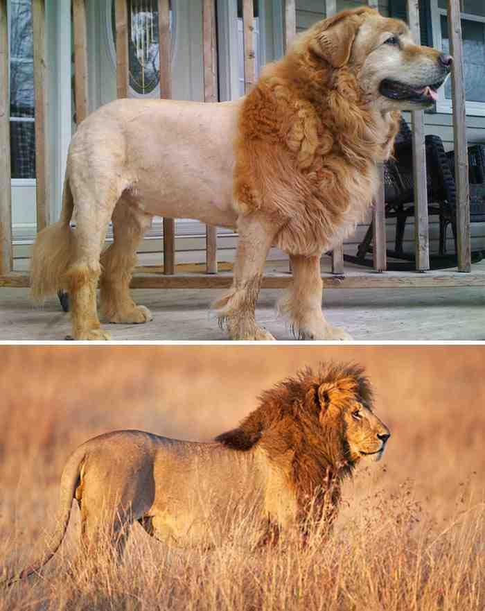 Dog Looks Like A Lion