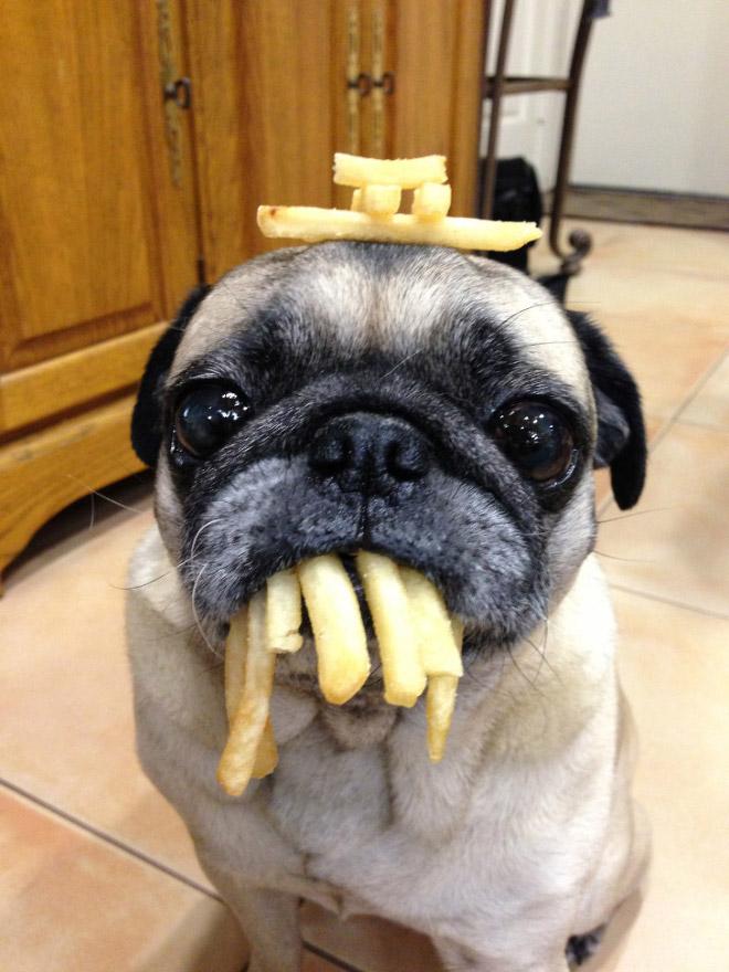 Pug vs Food (19)