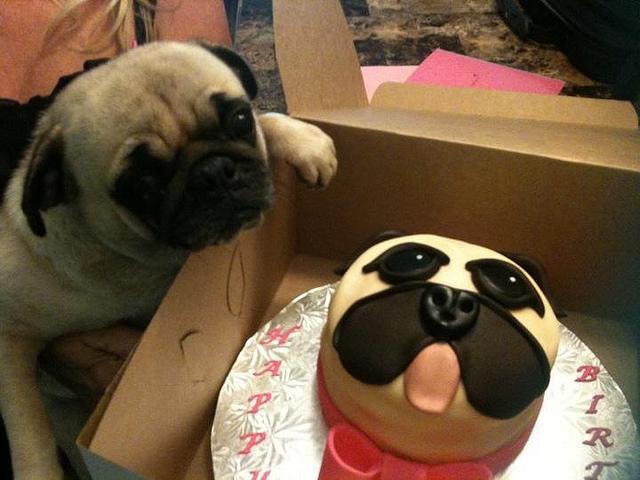 Pug vs Food (2)