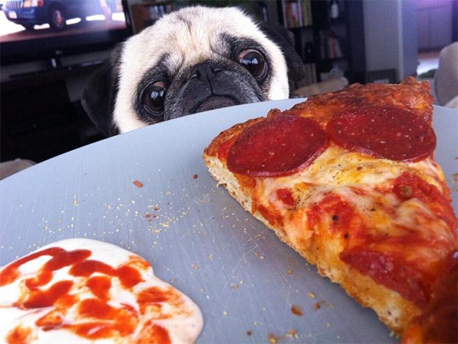 Pug vs Food (5)