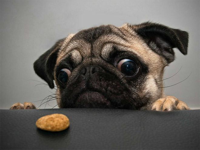 Pug vs Food (6)
