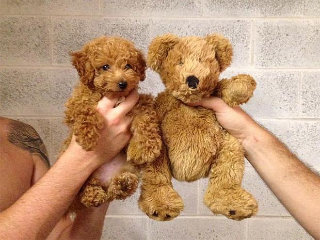 Toy Poodle Looks Like Teddy Bear