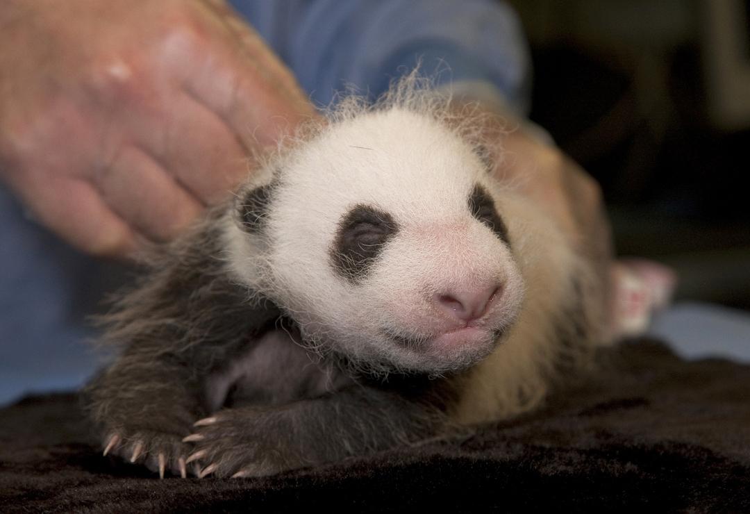 Baby Pandas 1