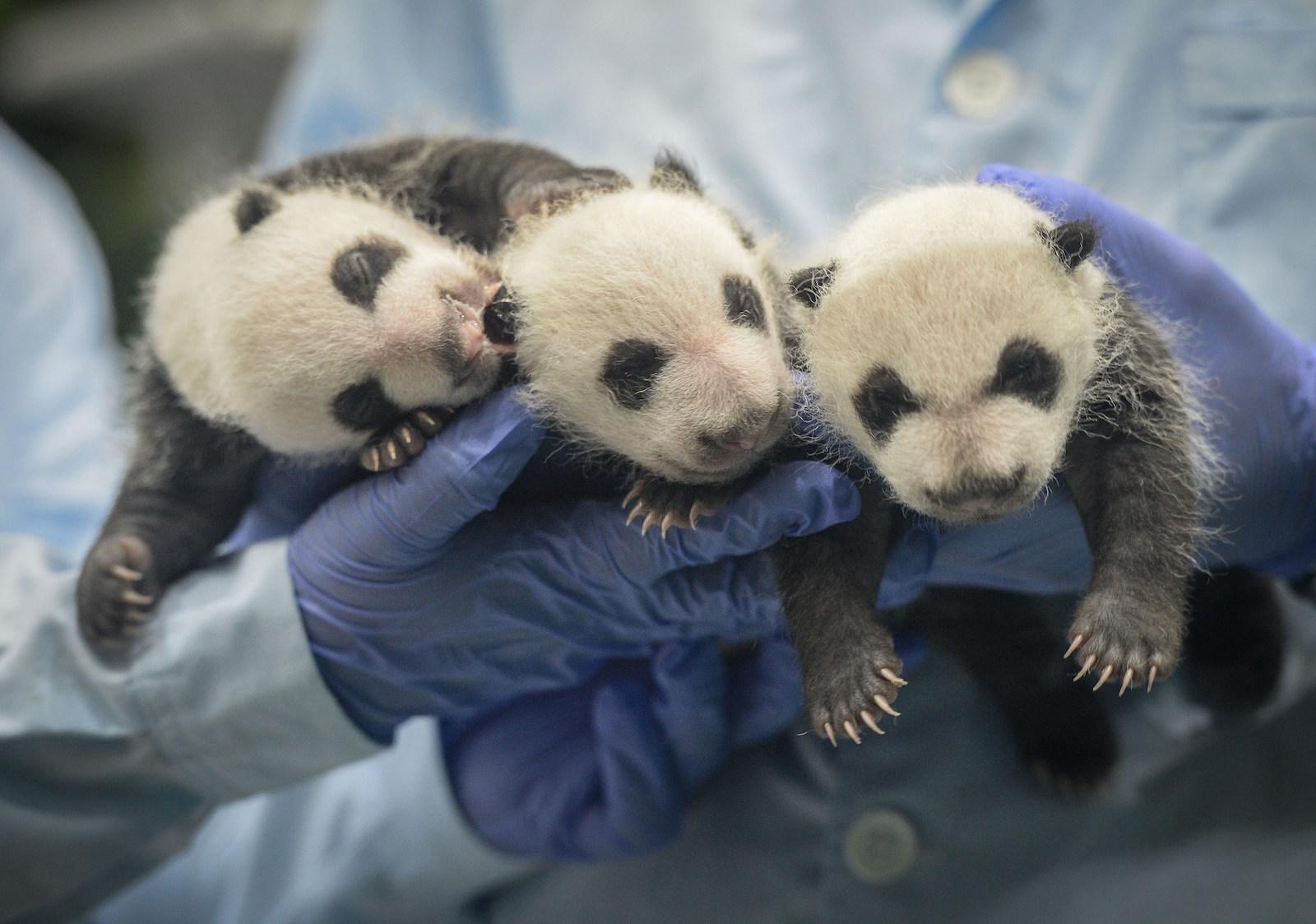Baby Pandas 10
