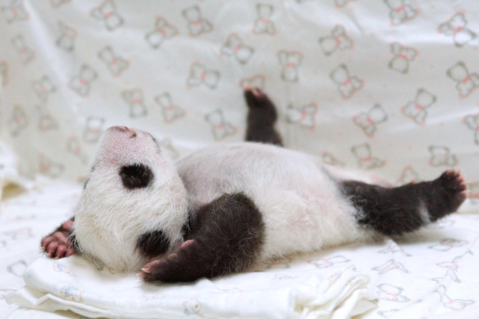 Baby Pandas 11