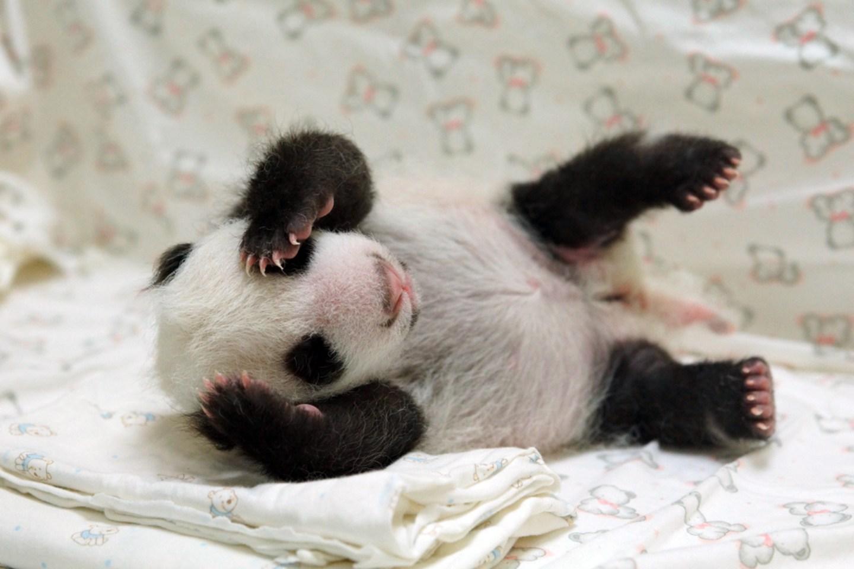 Baby Pandas 12