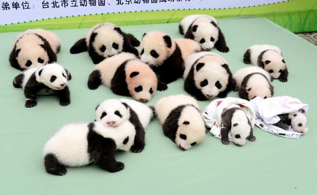Baby Pandas 13