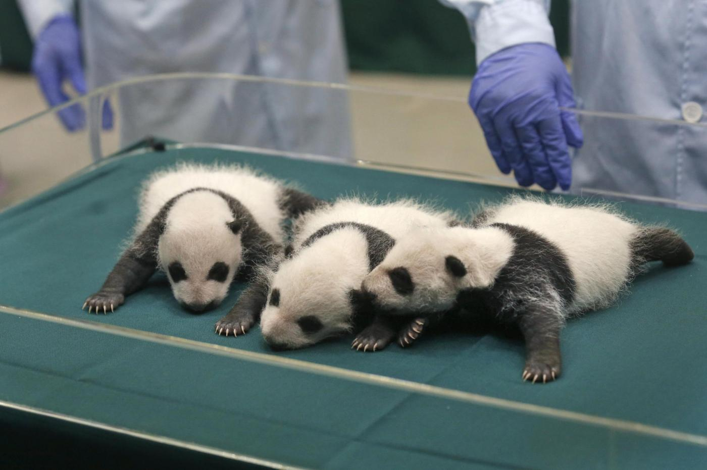 Baby Pandas 15