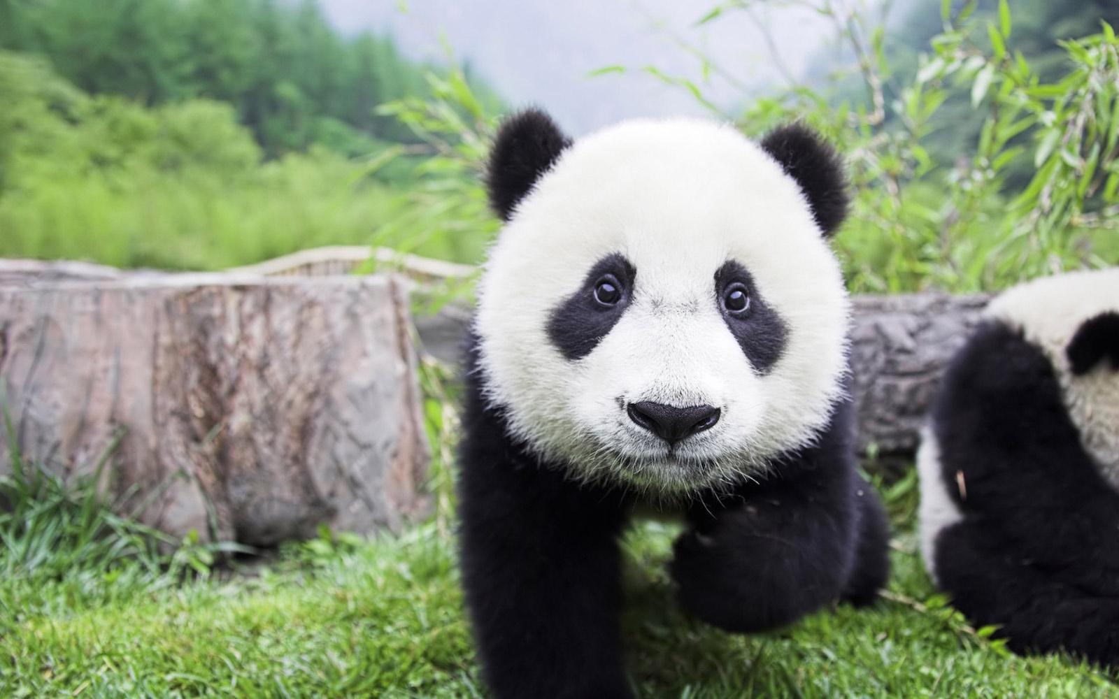 Baby Pandas 19