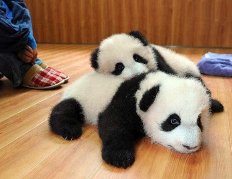 Baby Pandas 23