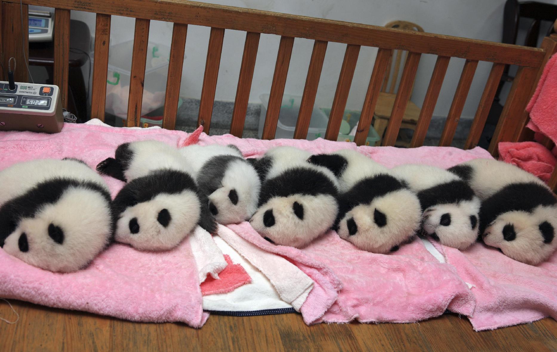 Baby Pandas 24