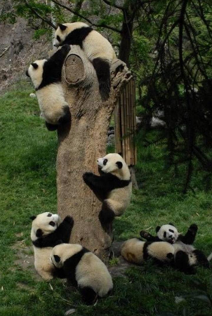 Baby Pandas 3