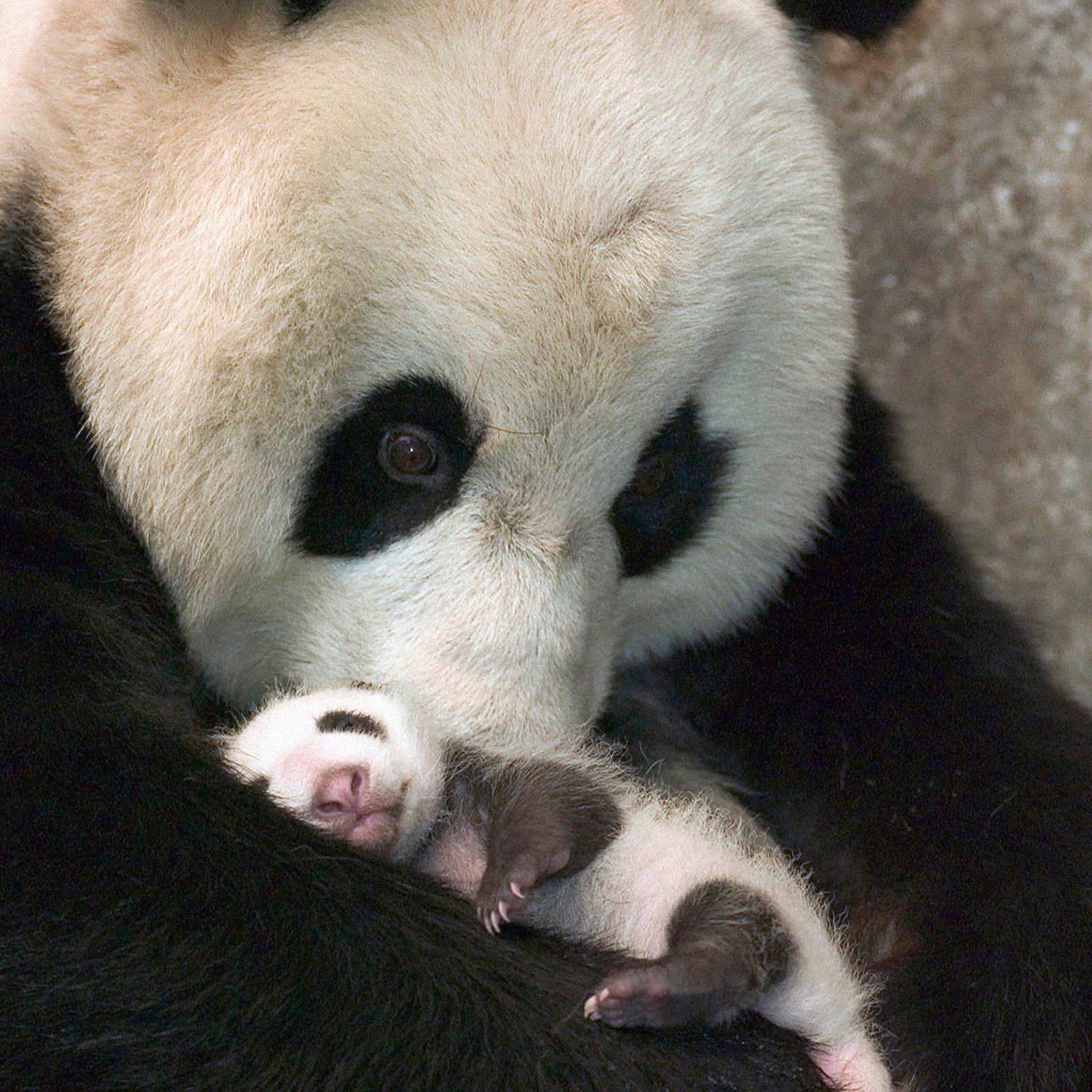 Baby Pandas 5