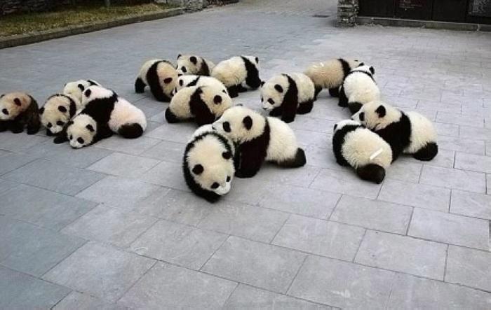 Baby Pandas 6