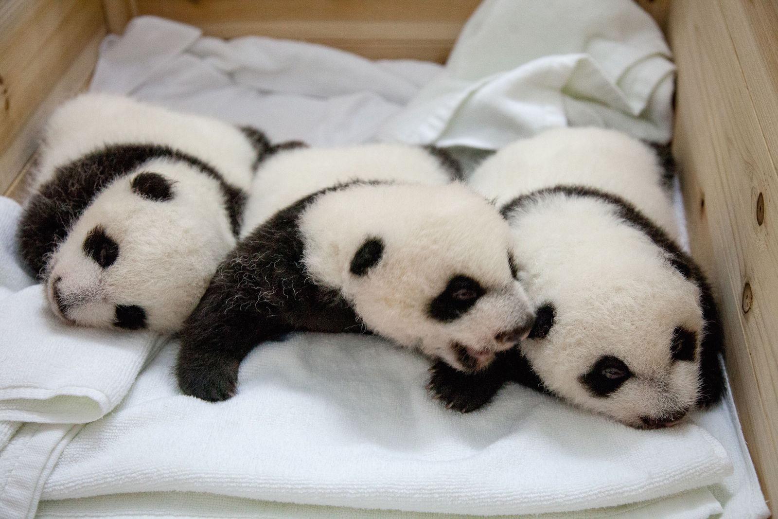 CHINA-ANIMAL-PANDA-ZOO-SCIENCE