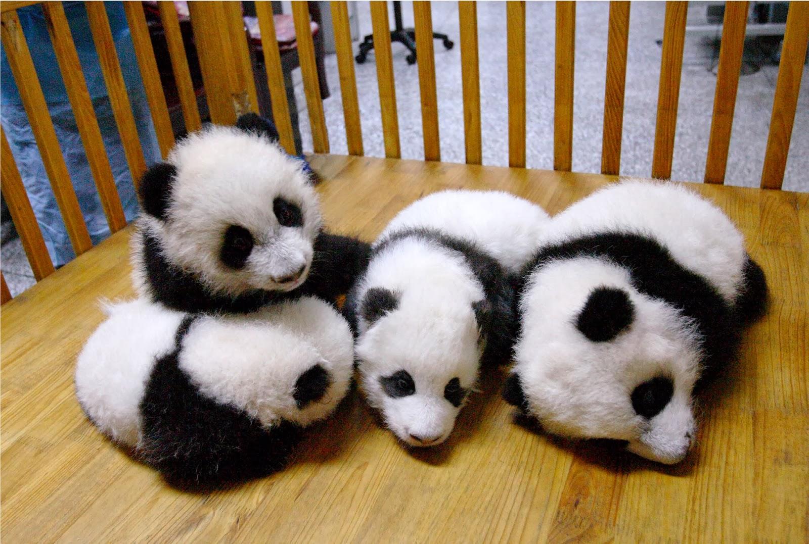 Baby Pandas 8