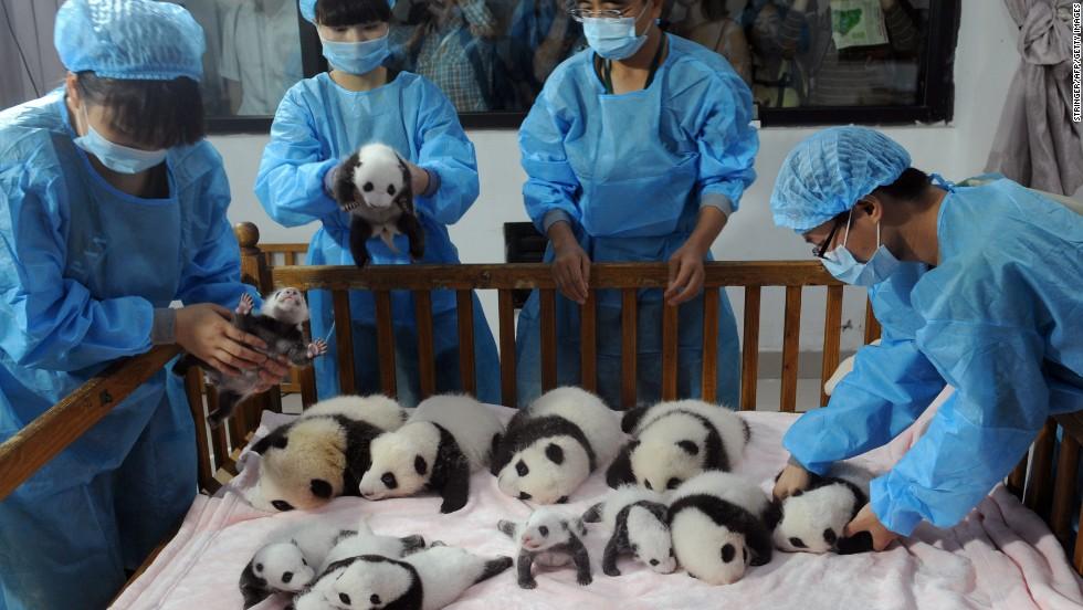 Baby Pandas 9