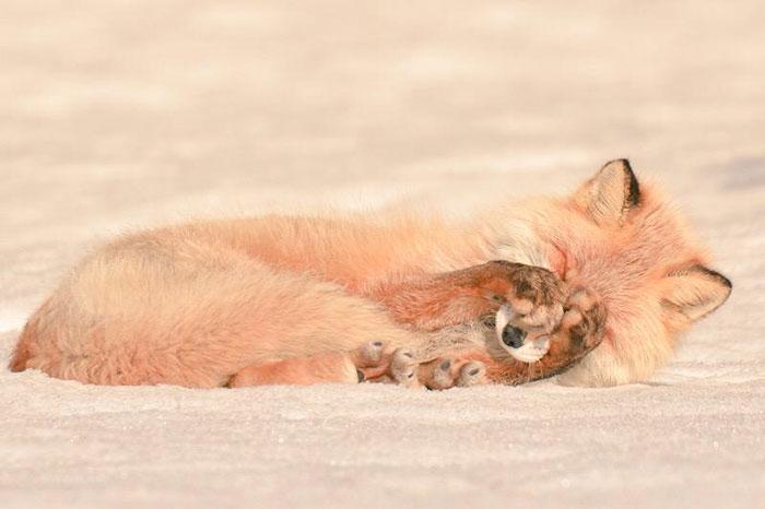 Hokkaido Red Fox 1