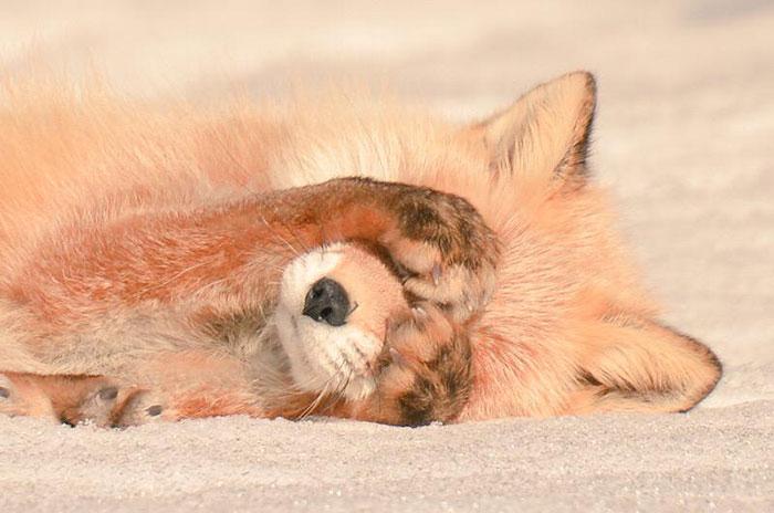 Hokkaido Red Fox 3