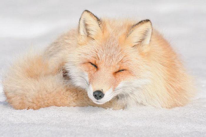 Hokkaido Red Fox 4
